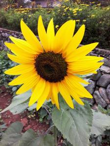 This is the most beautiful sunflower I have ever seen.